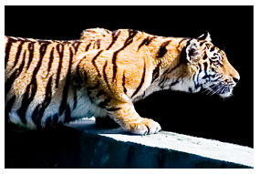 Celtic Tiger to take inspiration from Indian Tiger